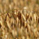 La Avena es el grano de la planta Avena sativa, un cereal muy completo con gran valor nutricional qu...