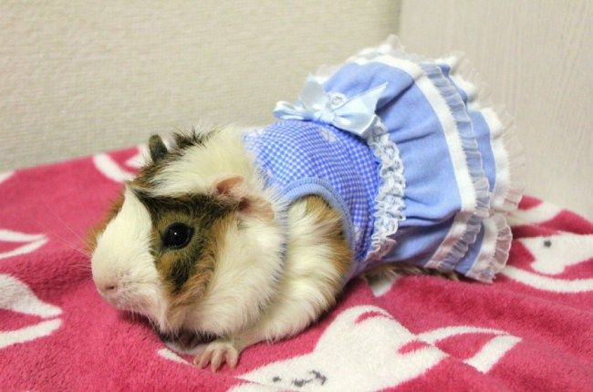 Guinea pigs with a passion for fashion embrace new pet clothing range