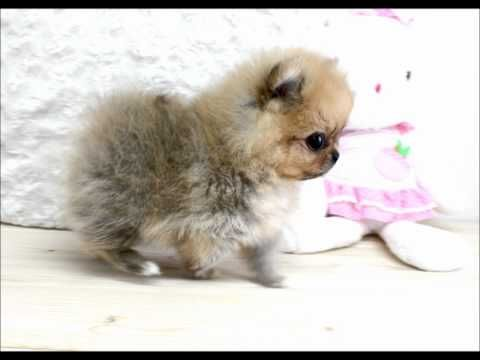 Boutique Teacup Puppy Pomeranian Micro Teacups For Sale! Visit www.boutiqueteacuppuppies.com