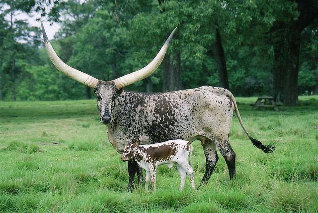 Ankole-Watusi Cattle