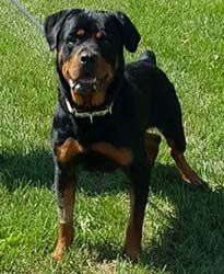 Montgomery up for adoption  For the Love of Dog - Rottweiler Rescue Resources for New England and the North East US. Rotts On Parade Newsletter