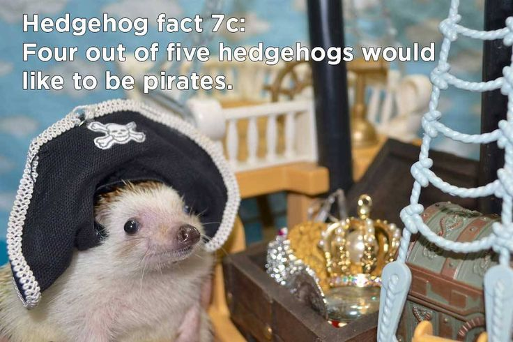 arr, a hedgehog fact