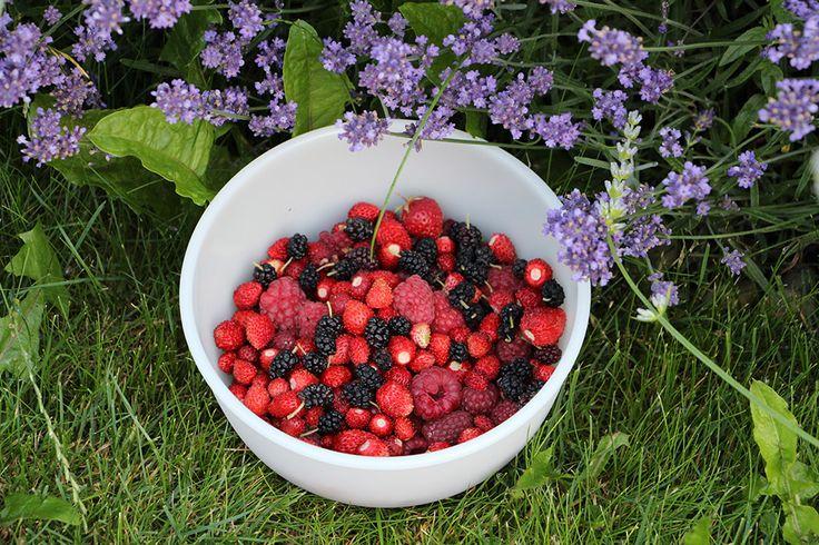 Maliny, moruše, měsíční jahody - začátkem července není o drobné ovoce nouze...