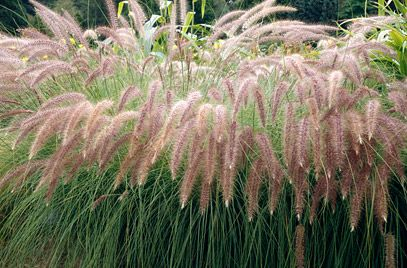 Pennisetum setaceum 'Skyrocket' Poaceae