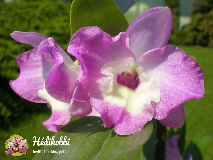 A Dendrobium nobile  közel annyira népszerű orchidea hazánkban, mint a Phalaenopsis . Gondozása nem bonyolult, virágai nagyon mutatósak, í...