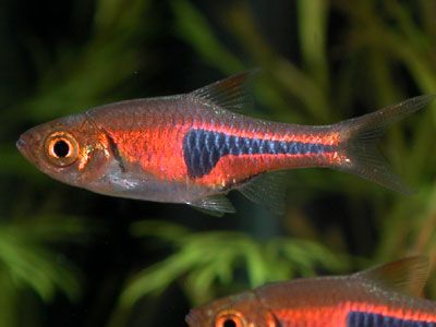 Porkchop Rasbora  Cyprinid (Trigonostigma espei)- Added ten of these to the tank... Colored up great and are schooling tight :)