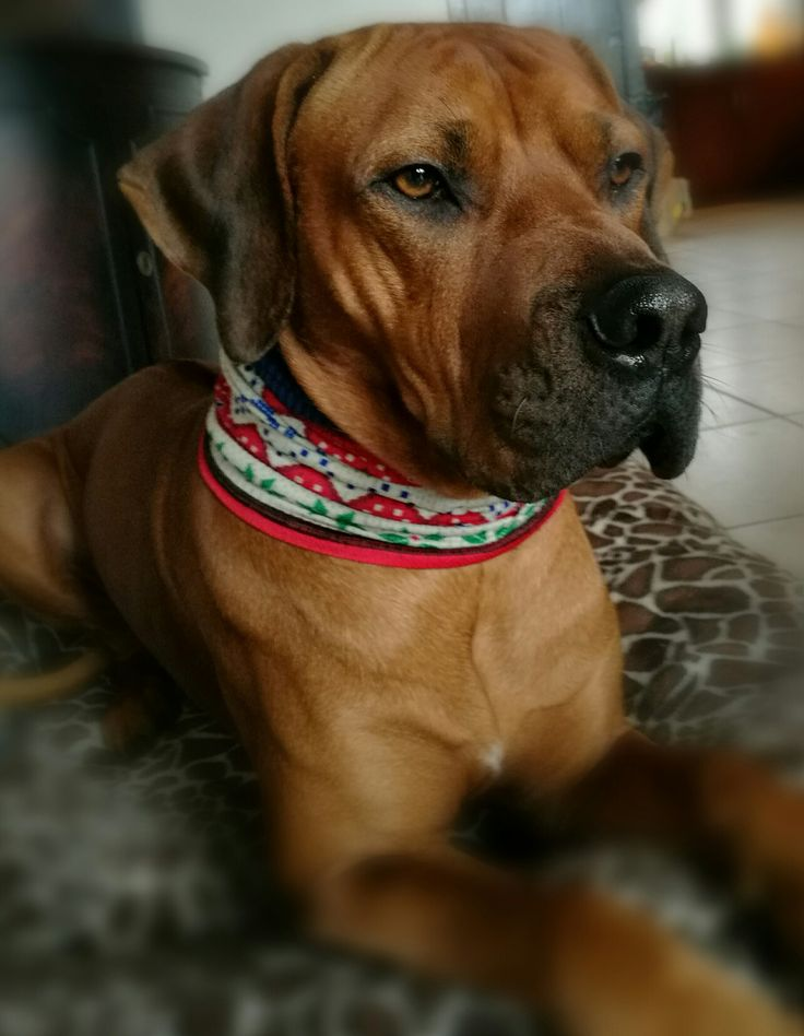 Beautiful Rhodesian Ridgeback Black Adorable Dog - 5518f3b48a32d16ba531cf3963a8bbe3--outfits-rhodesian-ridgeback  Pic_307226  .jpg