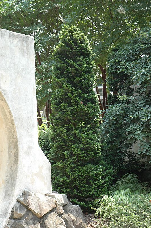 Dark Green White Cedar (Thuja occidentalis 'Nigra') | Lurvey Garden Center | Height: 20 feet | Spread: 7 feet
