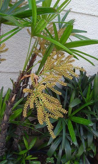 「シュロチク 花」の画像検索結果