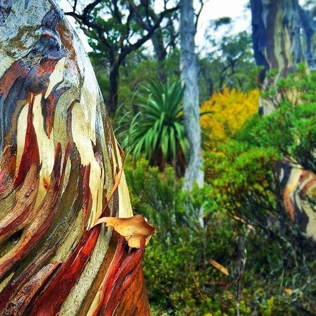All the diversity and colours of Tasmania's sub-alpine flora can by seen at Mount Field National Park, just a one-hour drive from Hobart. #nationalpark #tasmania #mtfield #discovertasmania