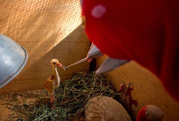 """CRIADERO DE GRULLAS. Los biólogos del zoológico de Korat, Tailandia, se visten con """"trajes de grullas"""" para alimentar o manipular a las grullas que habitan el centro de cría. Los biólogos evitan cualquier tipo de contacto con las aves para evitar que..."""