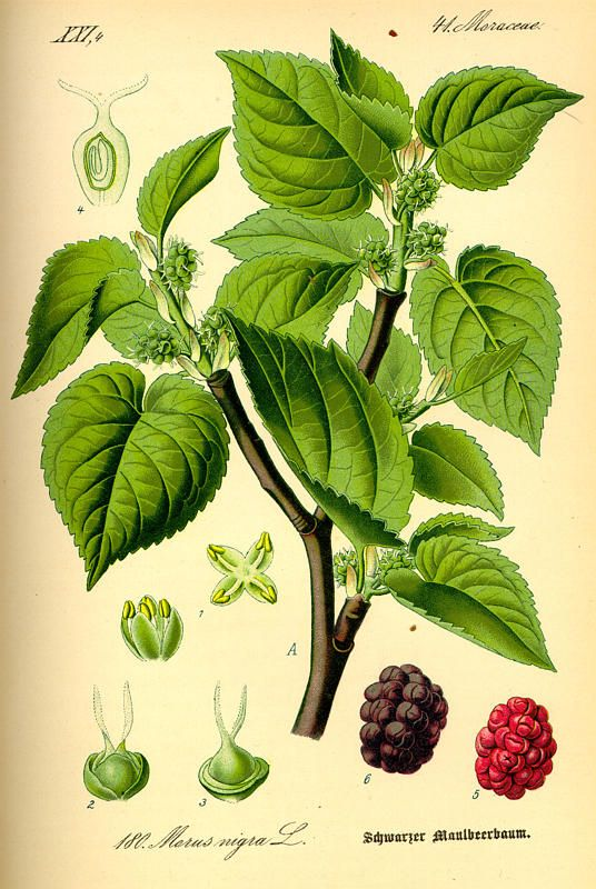 Beautiful drawing of Mulberry leaves and fruit.  Webpage in another language.   Kenal Lebih dekat : Morus Alba L. | MARKAS MONSTRESS!