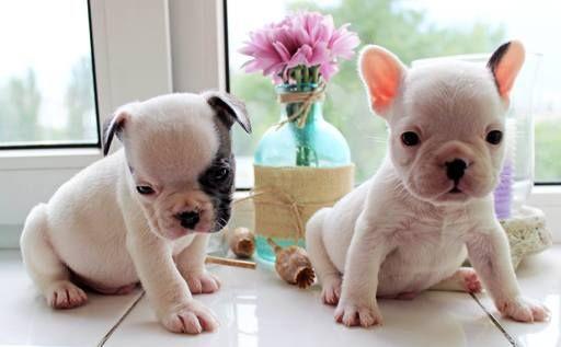French Bulldog Puppy For Sale In Edison Nj Adn 30945 On