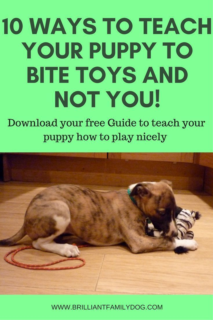 Puppy teeth are sharp! But they can be engaged with toys