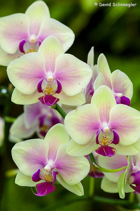 Vanda Orchid- like the light green with the purple
