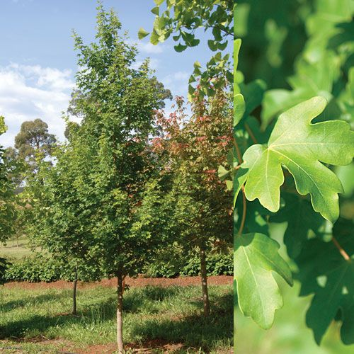 Acer campestre 'Elsrijk' - This maple is seriously easy going ... will adapt to pretty much any condition and site conditions which makes it ideal for tough coastal sites.