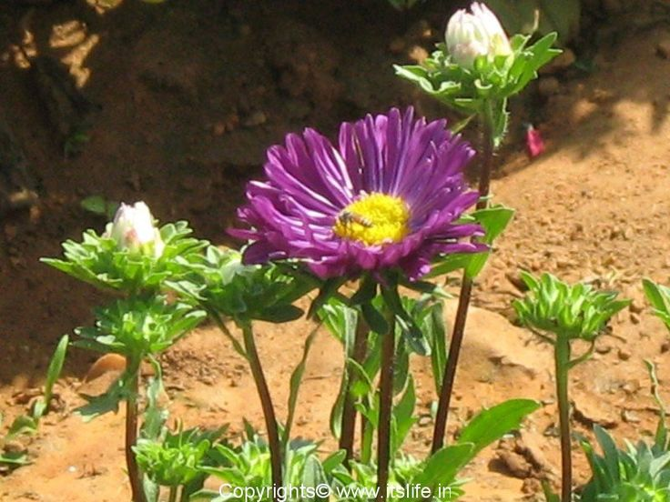 Best Of Aster Flower In Kannada Language And Pics Aster Flower Flower Meanings Flowers