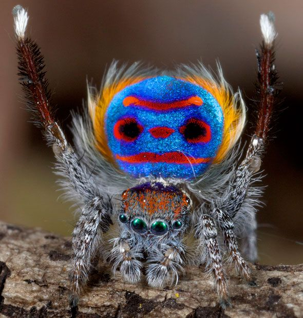 The brightly decorated peacock spider - much like his feathered namesake - uses colour to show off to the female of the species. Its markings appear to form a face including eyes, nose, a mouth and even ginger hair which is unique to this species, called Maratus speciosus. The tiny spiders are only about four to five millimetres in length.
