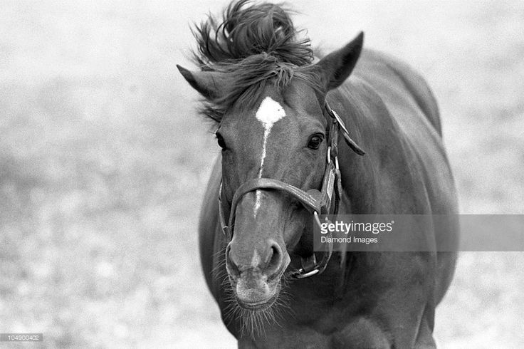 Secretariat appears to be enjoying retirement from racing on May 5, 1985 at Claiborne Farms in Paris, Kentucky. Secretariat won the horse racing Triple Crown (Kentucky Derby, Preakness Stakes, Belmont Stakes) in 1973 and set a track record of 1:59 2/5 for the 1 1/4 mile Kentucky Derby. Secretariat also ran each quarter mile of the Kentucky Derby faster than the previous one, meaning he was still accelerating as he finished. Secretariat's stud fees range up to $100,000.