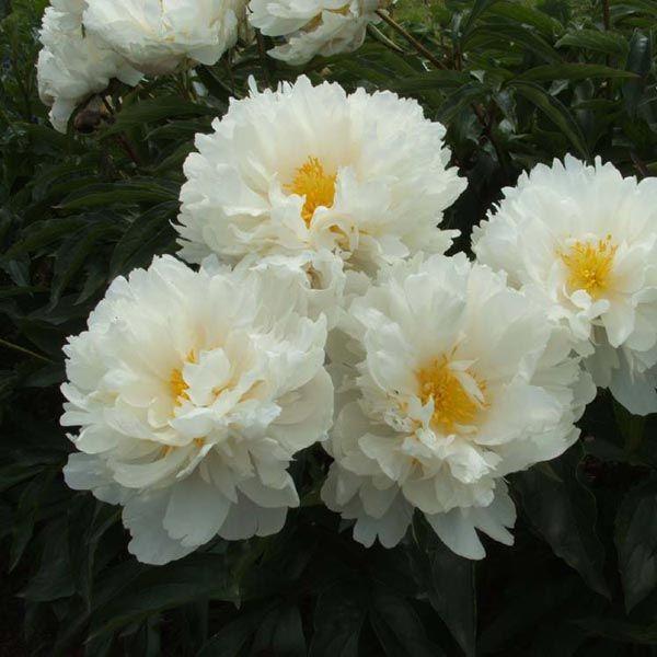 ГАРДЕНИЯ. Цв очь круп,  22 см, розовеюще-белый, позднее кремово-белый, похож на цветок гардении. Аромат нежный. Оч много бок бутонов,   длитель цв. Высота 85-90 см. Стебли прочные. Среднего срока цветения.