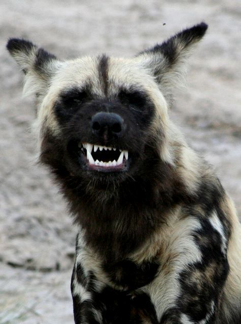 Hyena - NO! This is an African Wild Dog