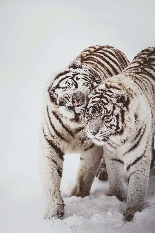 Winter Love - White tigers at Feline Park, France. By [Deadboxrunner] #tiger