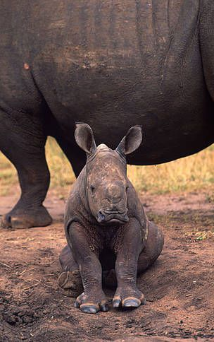 WWF - WWF African Rhino Programme~  WWF has been involved in rhino conservation and management in Africa for nearly 50 years.