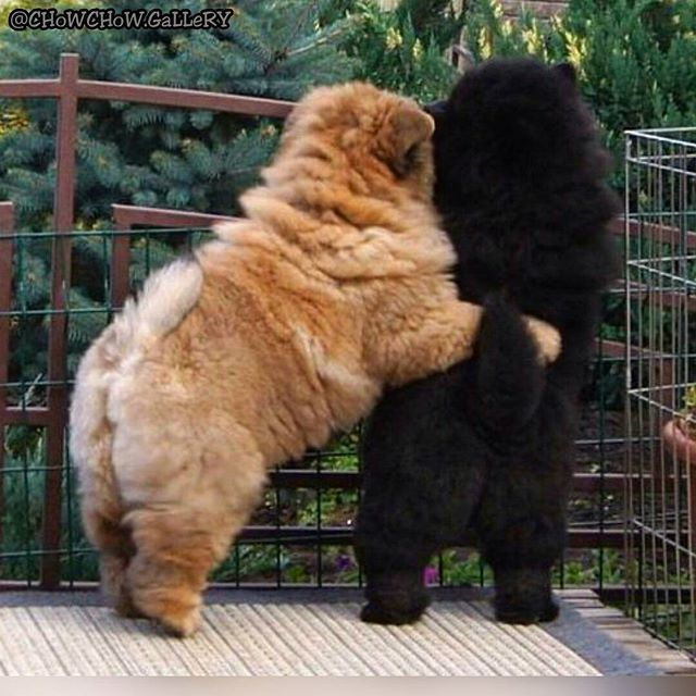 FoLLoW : @CHoWCHoW.GaLLeRY #animals #instaanimal #pets  #instapet #dogsofinstagram #dog #puppy #puppylove #instapuppy #puppies #woof #fluffy #yavruköpek #paws #cachorro #teddybear #nature #love  #chowchow #zoo  #babyanimals #chowchowpuppy #perro #anjing #собака #щенок #강아지  #犬  #動物  #개  MY SPESIAL CHOW FRIENDS :  @SDSTaSiuK @DIGSBY_N_CiNDeReLLa_THe_CHoWS  TaG YouR FRieNDs :