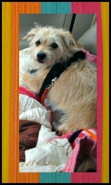"""southern California: Rescuer Pat Bonham seeks great home for brave little tripawd Cairn """"Frisco."""""""