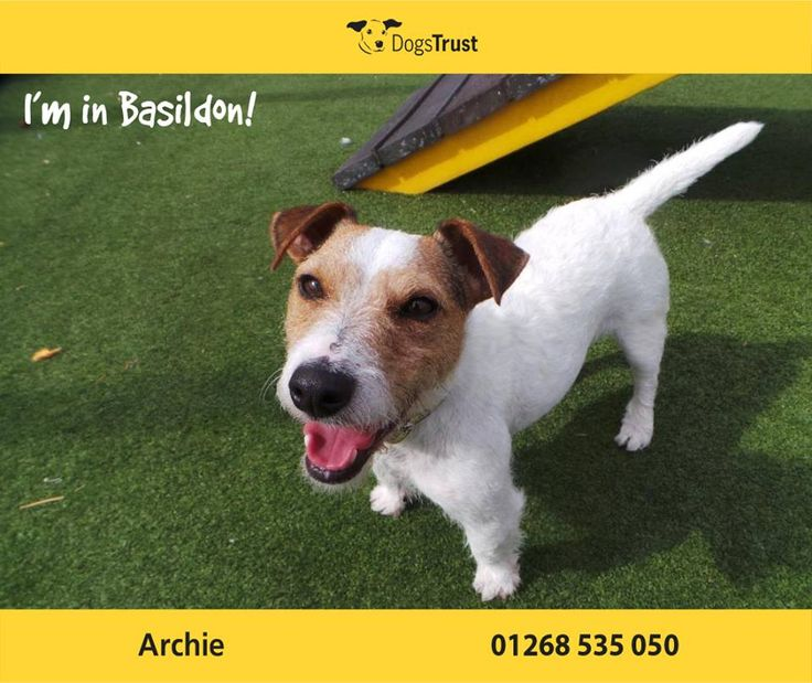 Archie is a handsome boy from Basildon who definitely has a sensitive side. He is a slow burner, initially quite shy & worried but once he gets to know and trust you he will make a great addition. He is not a fan of other dogs and must be the only pet in his new home. He can also react to fast moving objects & reactive to traffic.