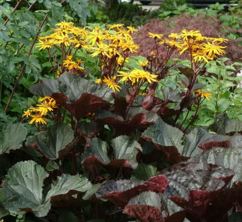 28 Best Images About Ligularia On Pinterest