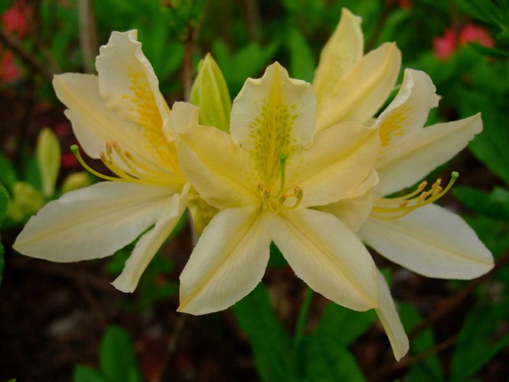 https://flic.kr/p/TsnaUe | Rhododendron | www.youtube.com/user/yewmchan/videos