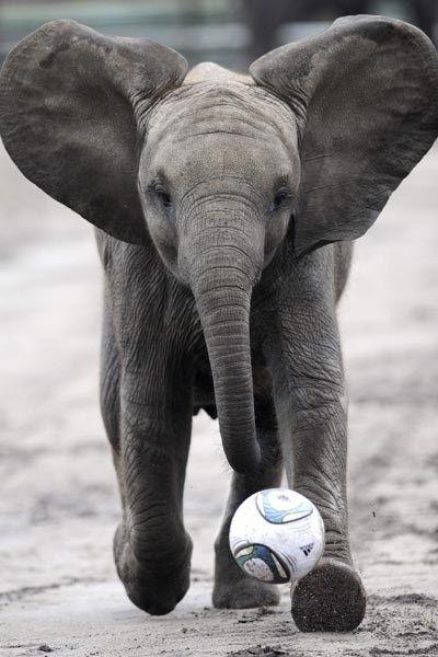 elephant playing soccer...