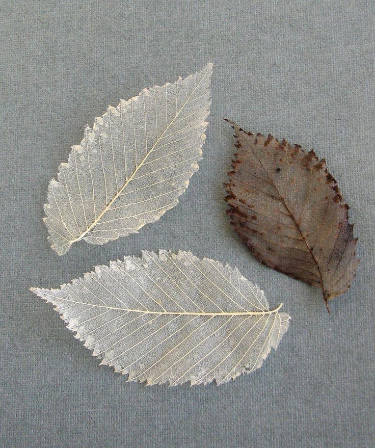 Skeletonized leaves of an elm tree. Скелетированные листья вяза.