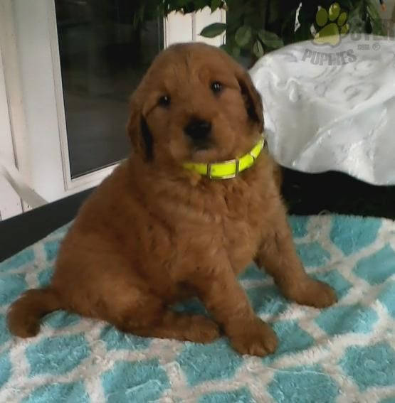 Lance Goldendoodle Puppy For Sale In Baltic Oh Buckeye