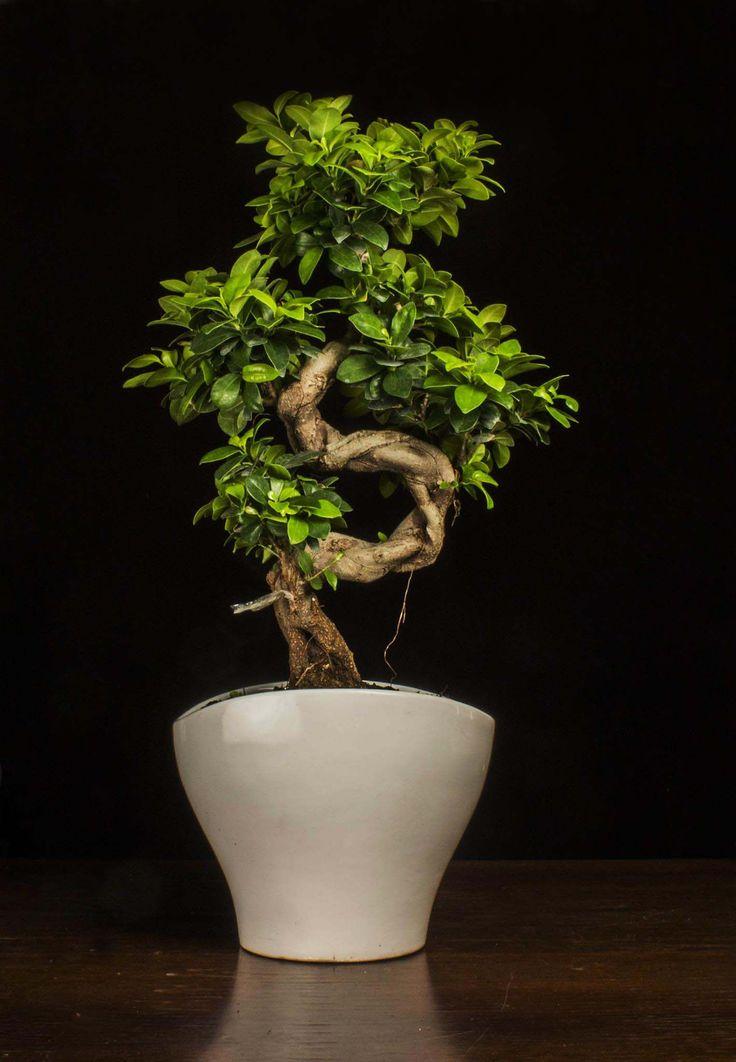 Bonsai ficus ginseng, la pianta opiù richiesta, amata e desiderata. E' simbolo di amore e di pace,