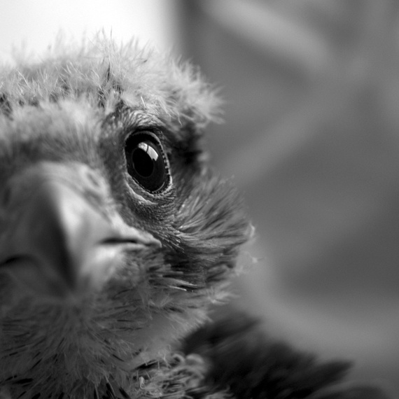 birds bird eyes eye feathers falcon animal prey macro
