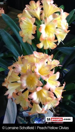 Peach Yellow Clivias