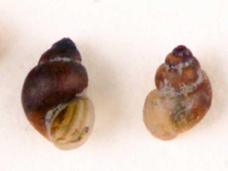 Mercuria similis Swollen Spire Snail