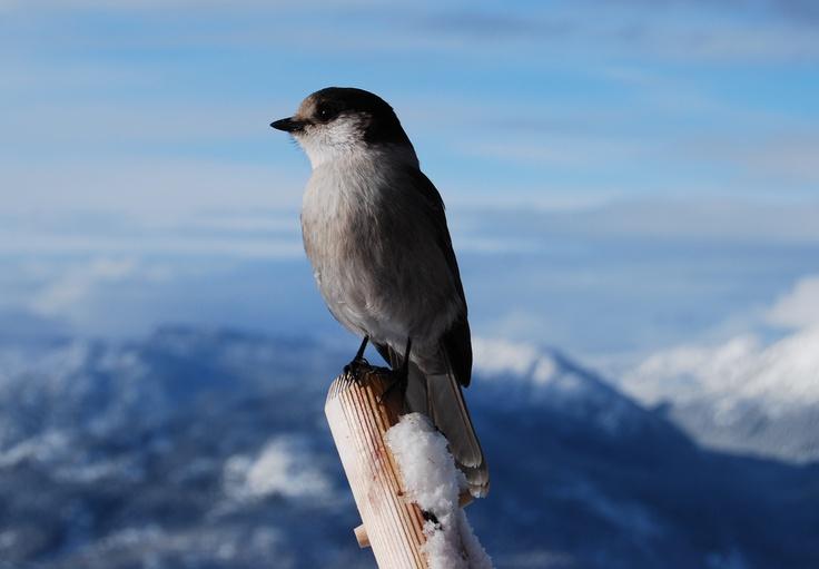 Whistler Bird