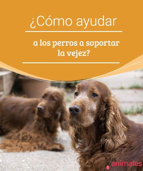 ¿Cómo ayudar a los perros a soportar la vejez? ¿Cómo sabemos que nuestro amigo ya es mayor y anciano en relación a su edad? Hay muchos signos. Te enseñamos a ayudarle a soportar la vejez. #vejes #signos #ayudar #salud