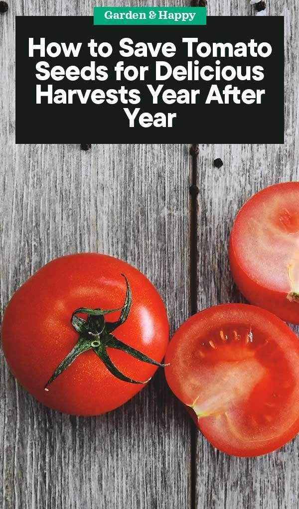 How To Save Tomato Seeds For Delicious Harvests Year After Year Tomato Seeds Organic Tomatoes Growing Organic Tomatoes