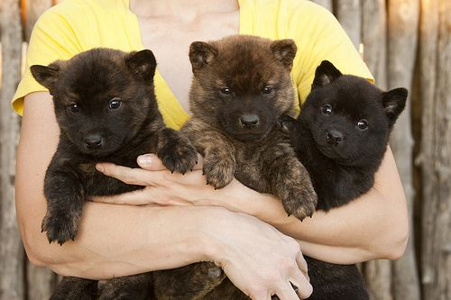 Awesome Dogs, 21 Dogs, Totally Chill, Rare Japanese, Dogs Breeds, Kai Ken Puppies, Kai Ken Dogs, Stay Indoor, Japanese Breeds