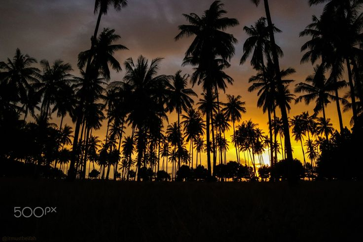 Coconut Trees - Coconut trees and sunset in Lombok, Indonesia