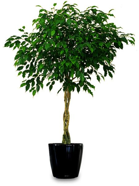 Kislevelű Fikusz (Ficus benjamina)
