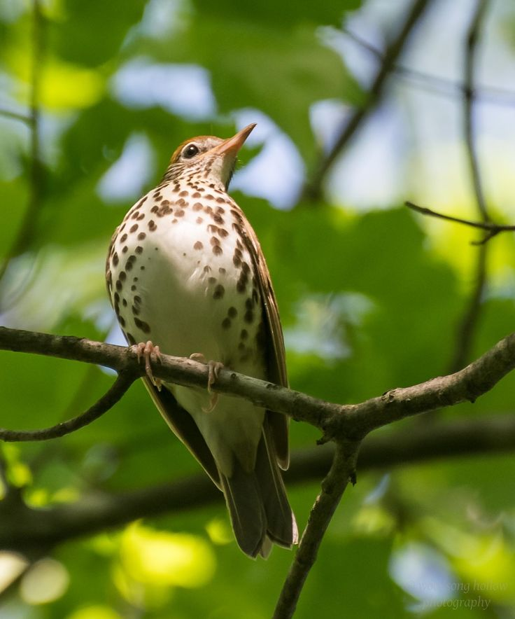 """woodsong: """"Wood Thrush My friend, Amy @amymontico, posted a lovely photo of a Song Thrush a few days ago and included a link to a recording of the lively Song Thrush song. The wood thrush is a North..."""