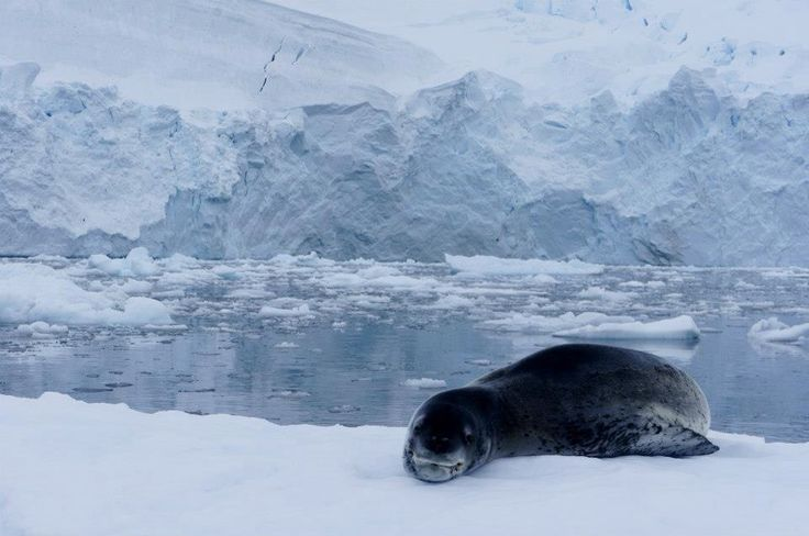 Leopard Seal Antartida