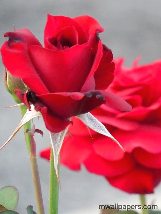 Red Rose Hd Images And Wallpapers 1080p 4345 Red Redrose