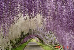 Traditional Landscape/Yard with Pathway, Arbor, Brighter Blooms Purple Wisteria Vine, White Wisteria