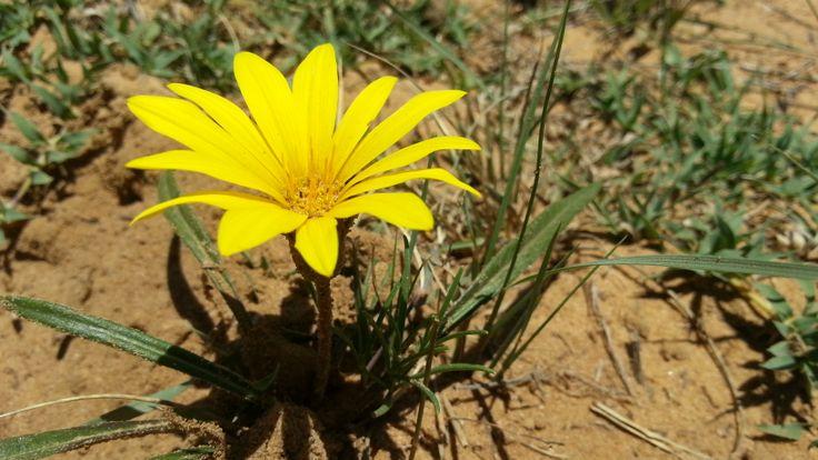 Yellow field flower in Bloemhof